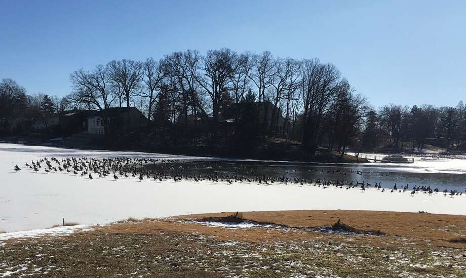 Hundreds of geese gathered Saturday at Dunlap Lake to take advantage of the unfrozen surface. Area ponds and lakes will see more thawing and freezing as the week plays out with highs climbing into the 50s before the lows tumble back down to single digits. Photo: Bill Craft • For The Intelligencer