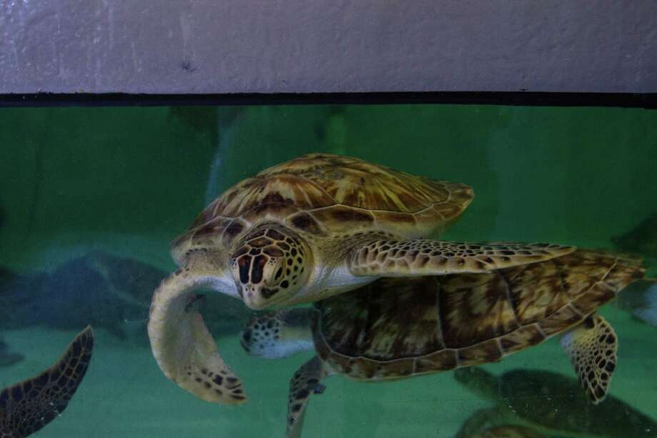 Ninety-five Green Sea Turtles were released back into the ocean Jan. 10 after spending roughly a week at Moody Gardens, where they were cared for after being stranded on the Gulf Coast due to cold-stun.