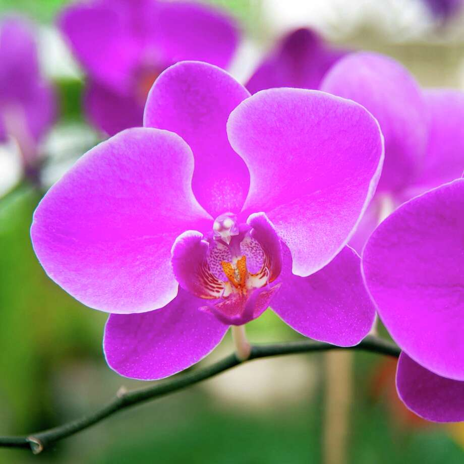 Only Phalaenopsis plants will produce new flower spikes from old stems. However, sometimes they can originate so far out on the old stems that the spikes become rather gangly. Some enthusiasts prefer to trim away most of the old stems, leaving a couple of inches at the base (two or three nodes where flowers were attached). Photo: Courtesy Photo