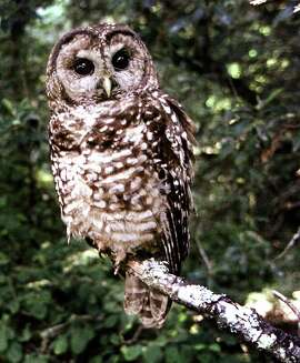 ** FILE ** This is a file photo of a northern spotted owl taken in Point Reyes, Calif., in June, 1995. A few hundred aggressive barred owls may be killed by agents with shotguns under a proposed federal plan because they are crowding the habitat of the protected spotted owl. (AP Photo/Tom Gallagher, File)