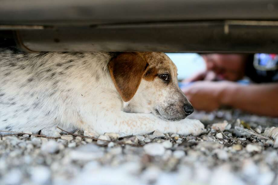 A stray puppy tries to avoid Animal Care Officer Robert Lopez as it hides under a car on Wednesday, Dec. 20. The puppy was one of four Lopez discoverd with their mother on Quintana Rd. while making his rounds on the southwest side of San Antonio. Photo: Marvin Pfeiffer /San Antonio Express-News / Express-News 2017