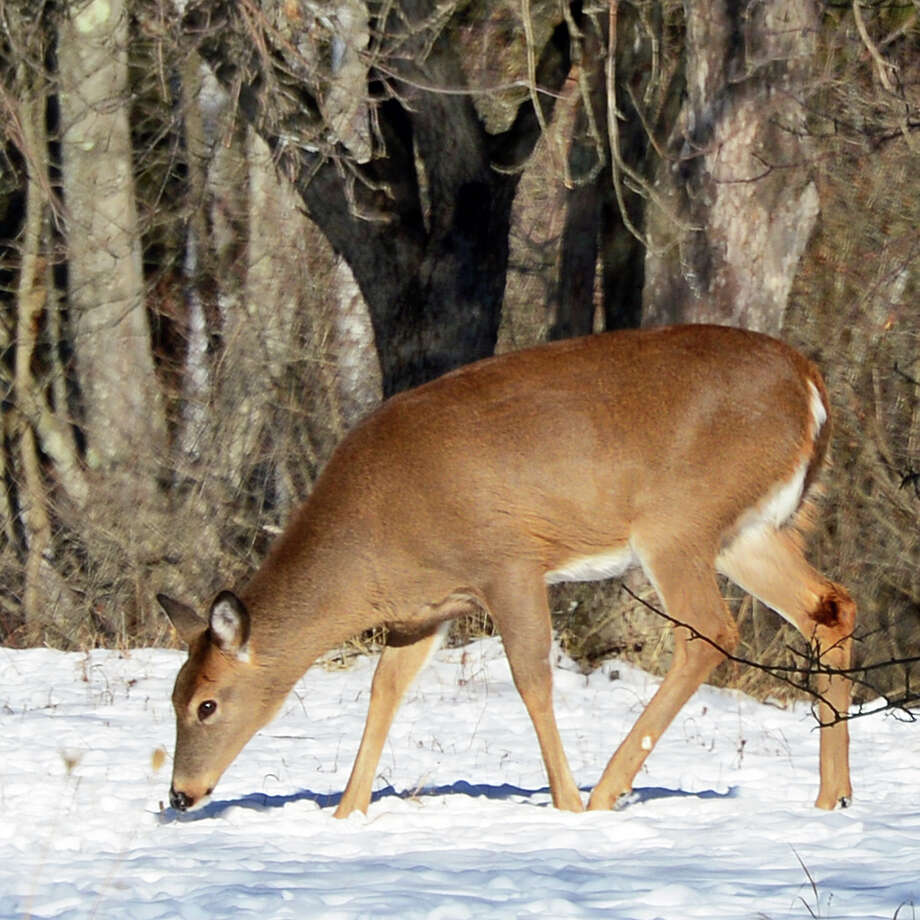 A white-tailed deer grazes in the sunlight at Five Rivers Environmental Education Center Wednesday Jan. 10, 2018 in Delmar, NY.  (John Carl D'Annibale/Times Union) Photo: John Carl D'Annibale