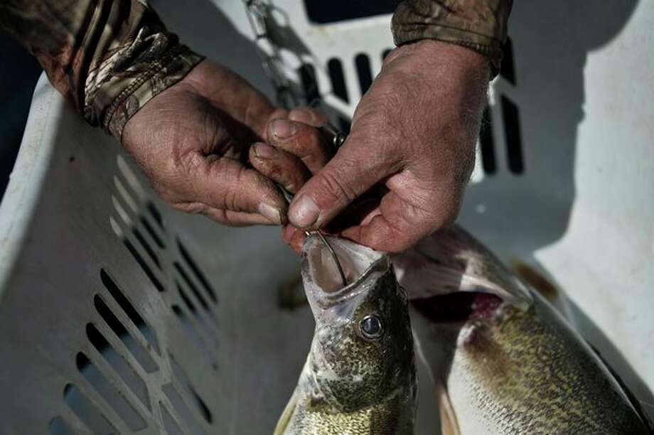 Walleye, such as these caught in a past Freeland Walleye Festival, will be the target of professional anglers on the NWT on Saginaw Bay in June. (Sean Proctor/Hearst Michigan file photo) / (c)Sean Proctor (c) Midland Daily News