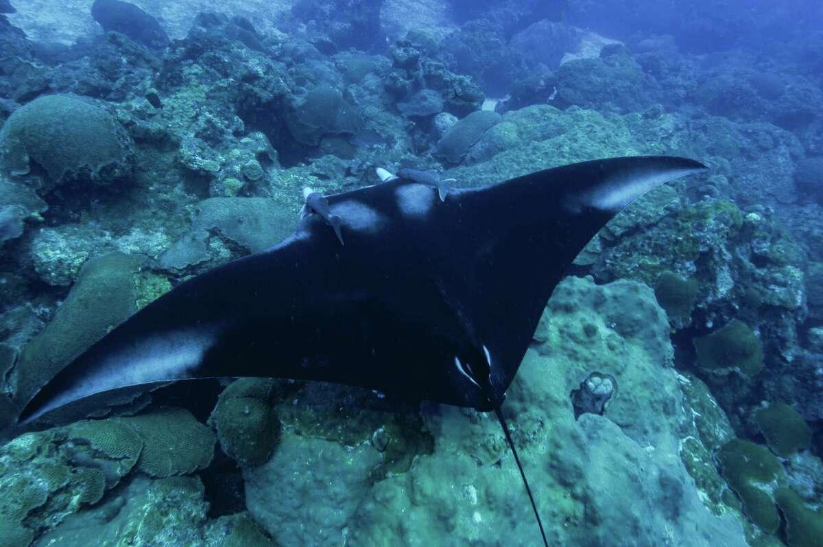 A manta ray swims at Flower Garden Banks National Marine Sanctuary