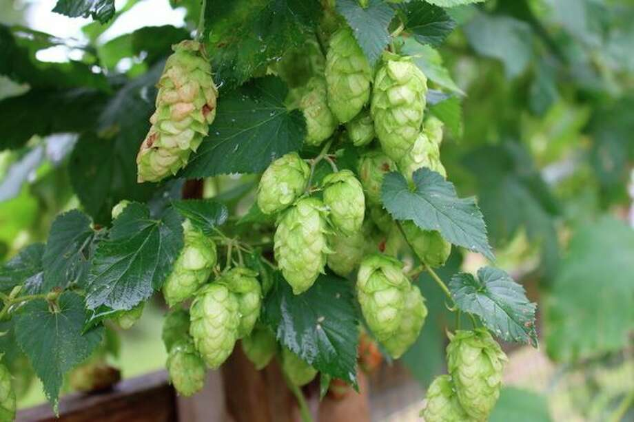 Hops, the 2018 Herb of the Year, are shown growing. (Photo provided/Donna Frawley)