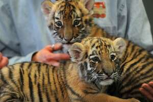Amur tiger cub sisters Zeya and Reka make their debut at Connecticut's Beardsley Zoo in Bridgeport on Thursday. The cubs, born in late November, are being raised by zoo staff after being rejected by their mother.