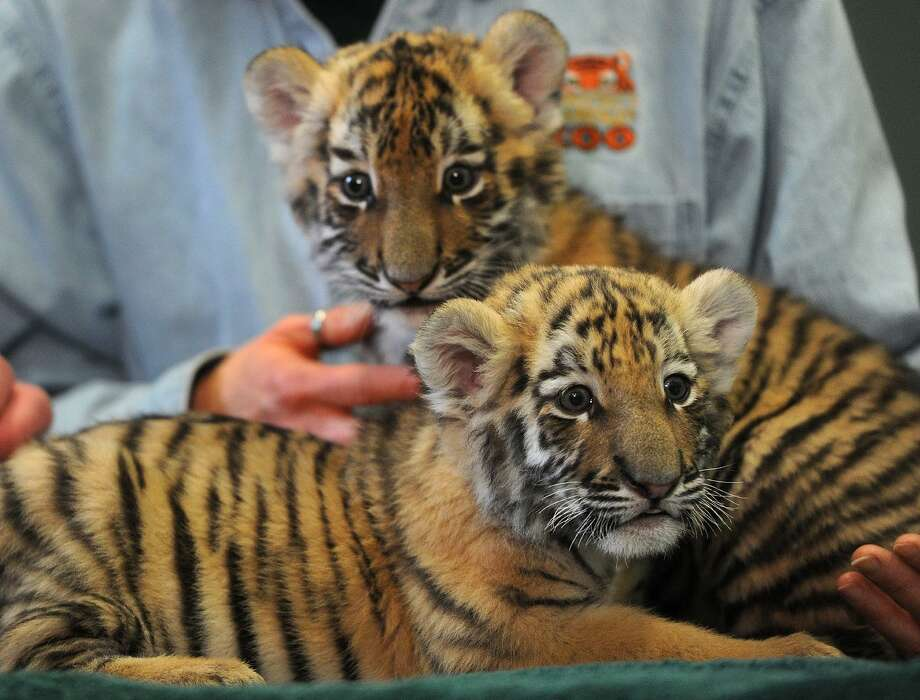Amur tiger cub sisters Zeya and Reka make their debut at Connecticut's Beardsley Zoo in Bridgeport on Thursday. The cubs, born in late November, are being raised by zoo staff after being rejected by their mother. Photo: Brian A. Pounds / Hearst Connecticut Media / Connecticut Post