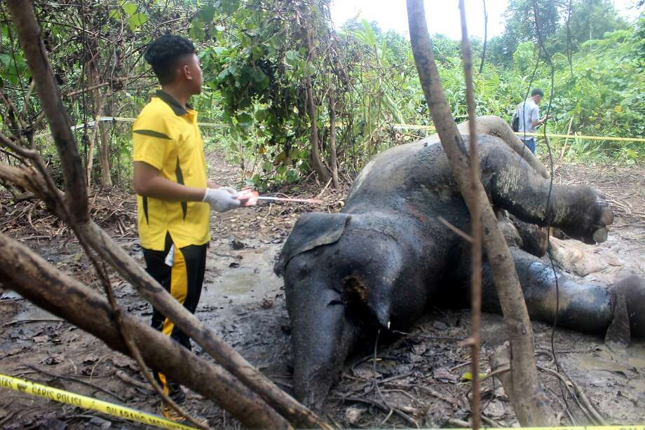 A pregnant elephant was found dead last year on a palm oil plantation in Sumatra from poisoning. Photo: -, AFP/Getty Images