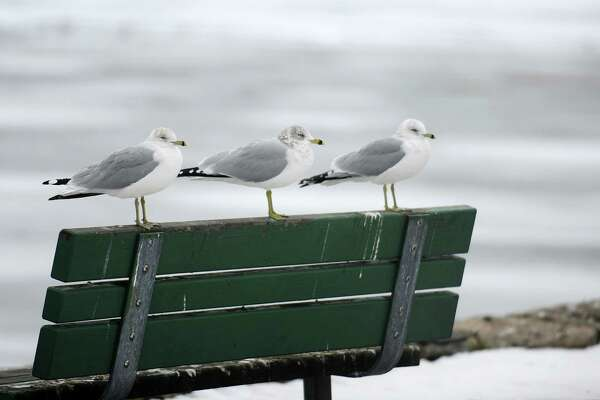 A trio of seagulls sit on the back of a bench at Gus Edson Park on Weed Avenue in Stamford, Conn. on Thursday, Jan. 11, 2018.