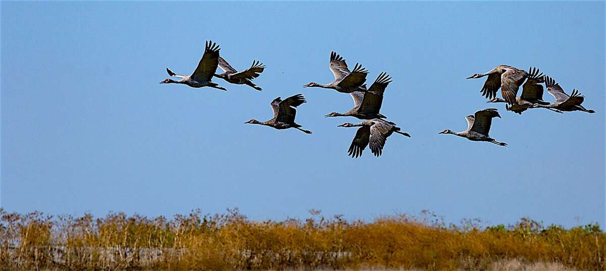 A fly-in of sandhill cranes at Woodbridge Ecological Reserve, located in the eastern Delta in the San Joaquin Valley, where cranes and other migratory birds spend much of winter. A new state Land Pass is now charged at Woodbridge to help pay for habitat conservation.