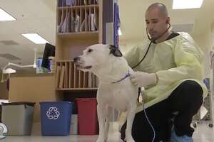 Veterinarian Shadi Ireifej treats a dog at the United Veterinary Specialty and Emergency Hospital in Campbell. Ireifej says he's seen 50 dogs with flu-like symptoms in the past two weeks.