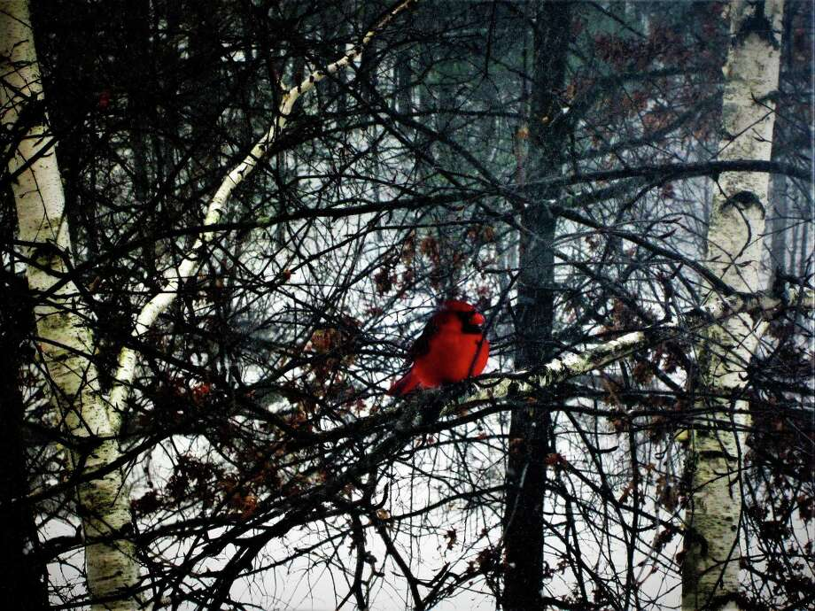 Barbara Semeiks, from her upstairs window, quickly captured her favorite winter-time bird, a bright red male cardinal amid the birch trees. (Submitted)