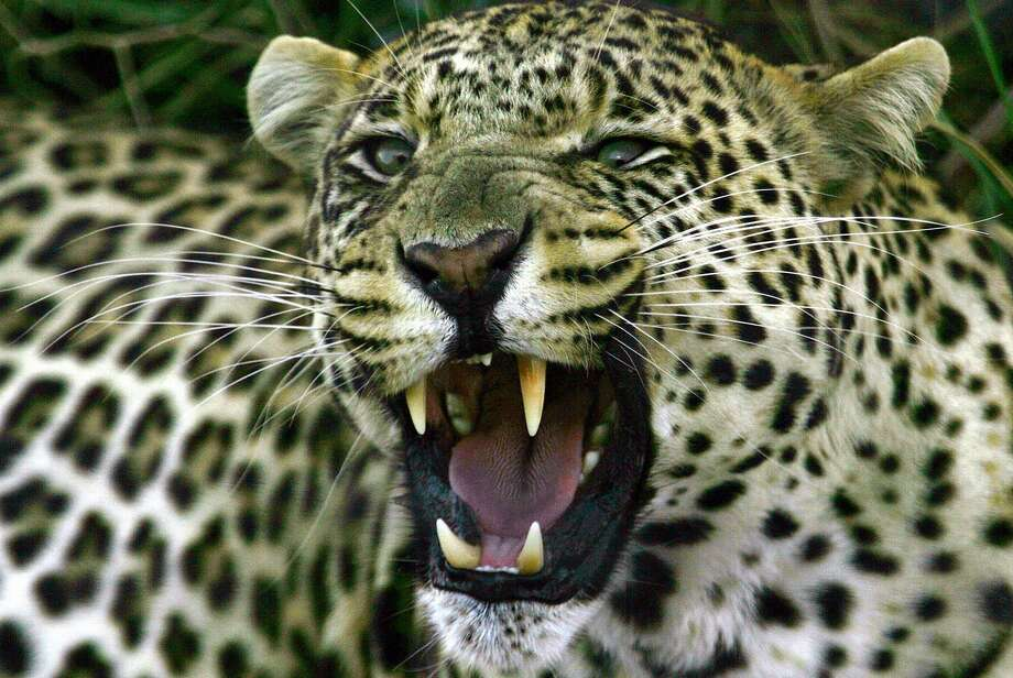 Adam Lawrence, of Willits, allegedly killed a leopard in South Africa, but said he had hunted the animal in Mozambique. Photo: THEMBA HADEBE, AP