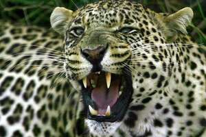 ** FOR IMMEDIATE RELEASE **A leopard growls in the Shamwari Game Reserve near Port Elizabeth, South Africa, in this July 2005 file photo. With the country's tourist industry on a roll a record number of tourists visited last year. The country boasts prolific wildlife, stunning scenery, endless beaches, a great climate and rich cultural traditions. (AP Photo/Themba Hadebe)