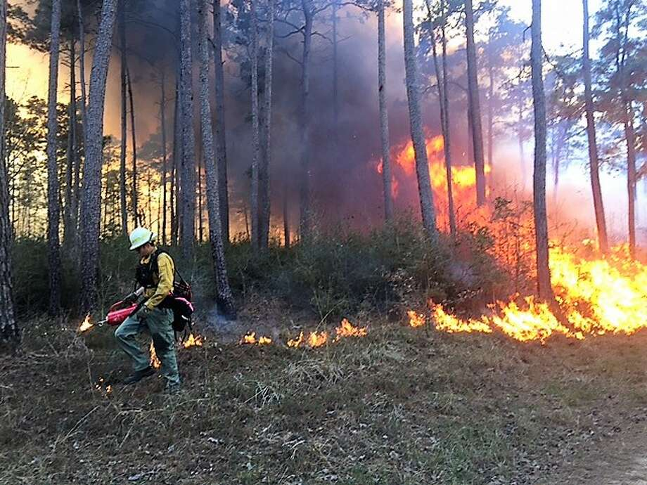 """In this photo a firefighter monitors a """"prescribed burn."""" Officials at Jones State Forest have been hoping to start a burn at the forest since early January, but the weather has not been cooperating. Photo: Handout, Courtesy Of Jones State Forest"""
