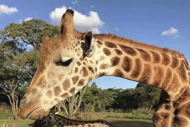 Jean Cherni at Giraffe Manor in Kenya.