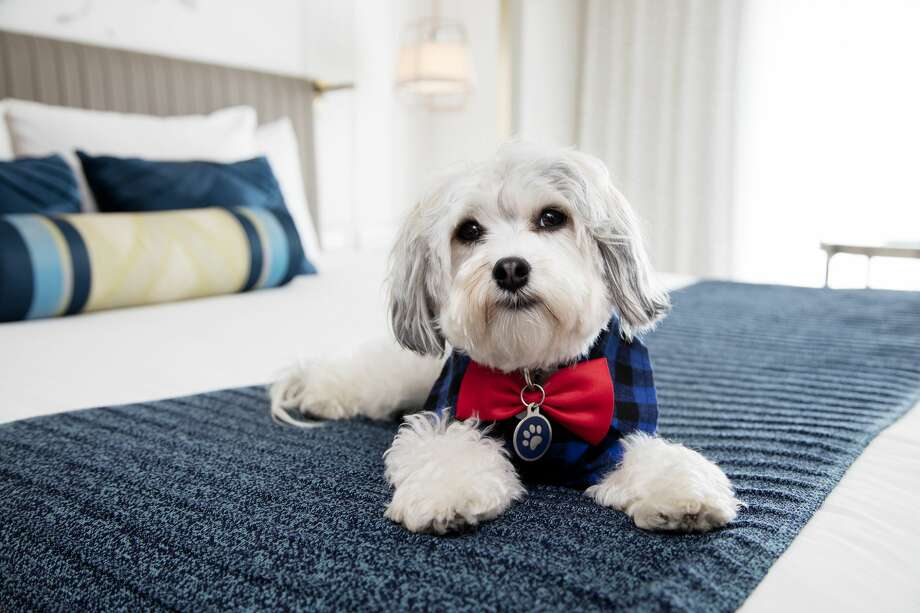 "Buster Presutti Posey, the ""Canine Operating Officer"" at Hotel Nikko in San Francisco. Photo: Matthew Millman/© Matthew Millman"
