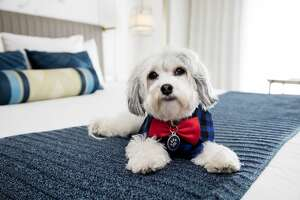 """Buster Presutti Posey, the """"Canine Operating Officer"""" at Hotel Nikko in San Francisco."""