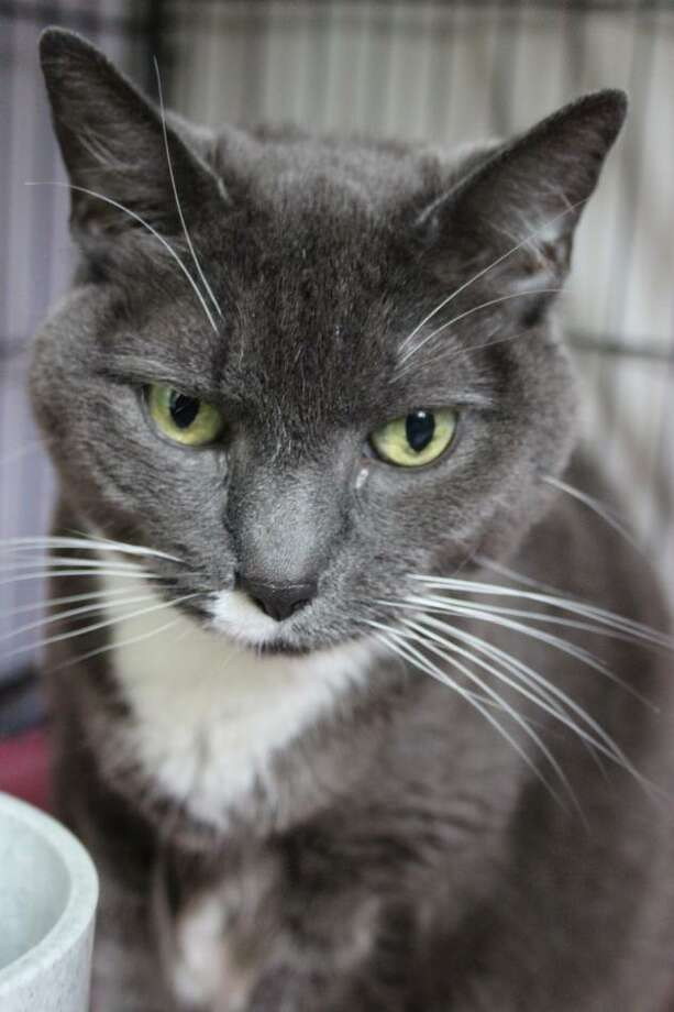 "Gray is a handsome guy with plenty of life and love to give. He's lost his family and seeking his new ""forever"". Loves his wet food and eager to make some friends. Gray is available now at our adoption center in Granby. To reach Mary's Kitty Korner, dall 860-379-4141/413-297-0537 or email marys.kitty.korner@sbcglobal.net Photo: Contributed Photo / Not For Resale"