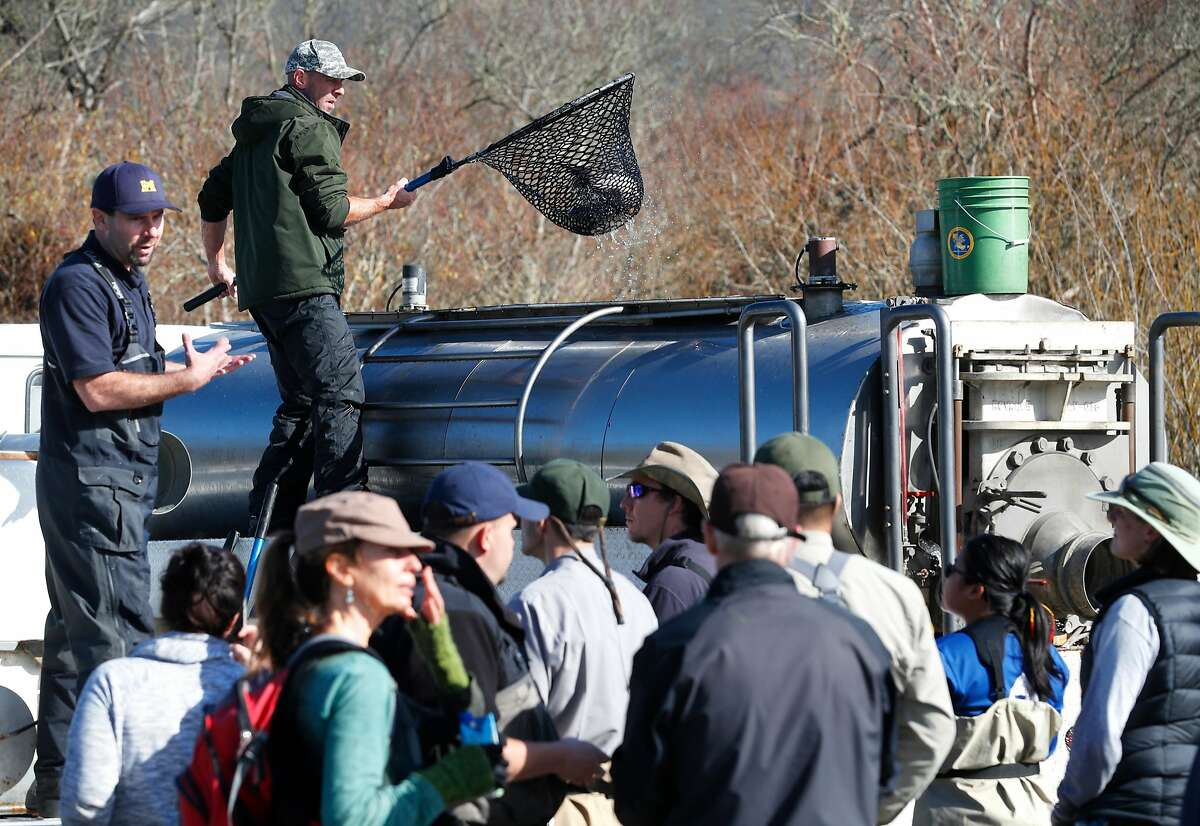 Bryan Freele with the California Department of Fish and Wildlife nets the fish from the hatchery truck for transport down to the river as nearly 200 adult Coho Salmon are released into Marin County's Redwood Creek to boost spawning of the endangered fish, at Muir Beach, on Friday, Jan. 12, 2018 in Mill Valley, Calif.