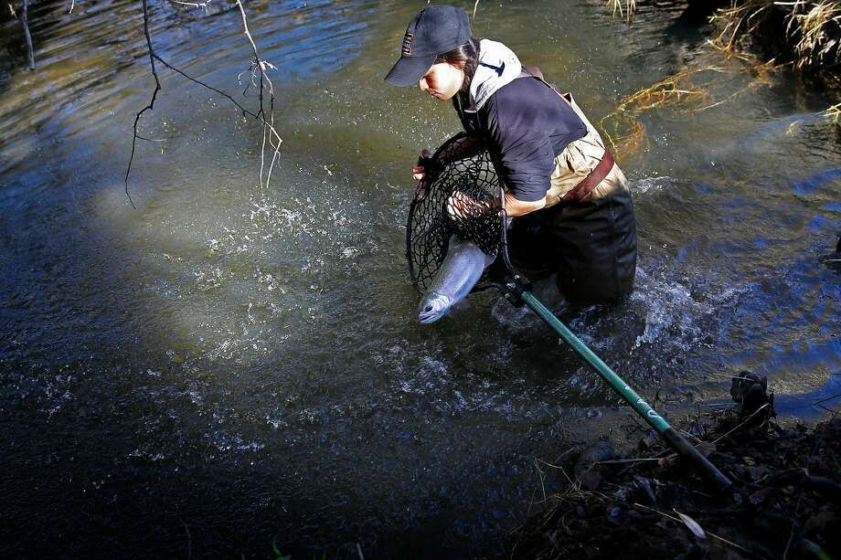 Gabriela Dunn of the Golden Gate National Recreation Area releases a coho salmon into Redwood Creek. Photo: Michael Macor, The Chronicle