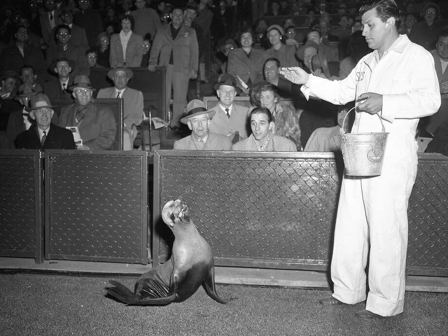 Major the new San Francisco Seals mascot gets fed on the field on June 13, 1950. Photo: Bill Young, The Chronicle