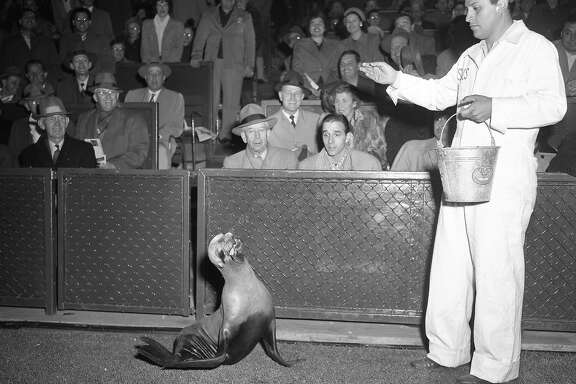 June 13, 1950: Major the new San Francisco Seals mascot gets fed on the field.