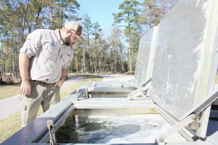 Brandon Hoffman with Texas Parks and Wildlife checks on the rainbow trout in the fish tanks before setting them free in Marshall Lake in the Kickerillo-Mischer Preserve on Friday. Photo: Mayra Cruz