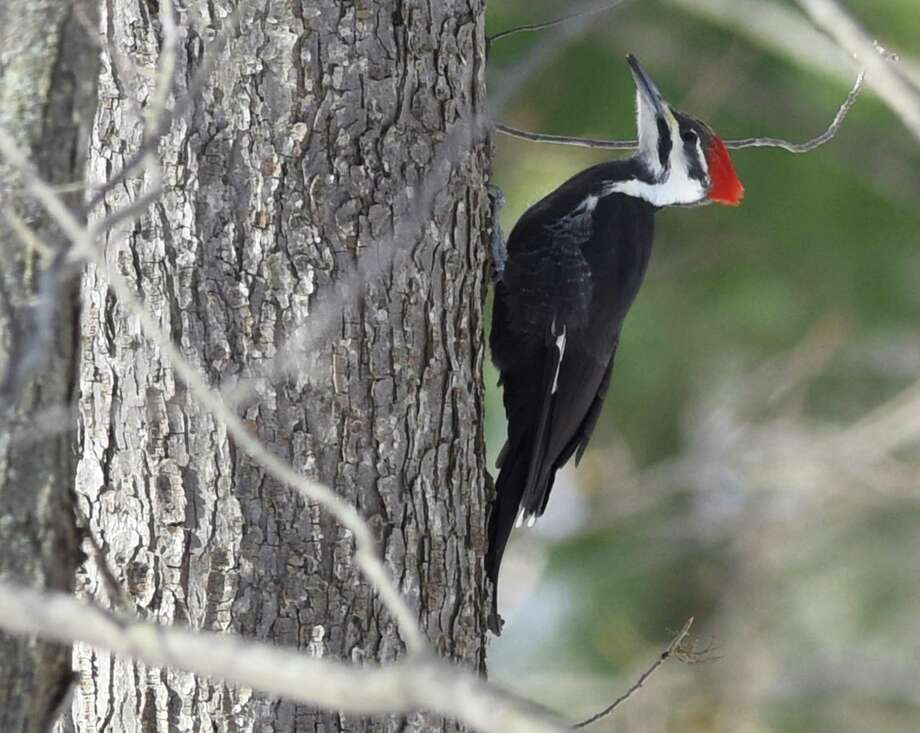 A pileated woodpecker perches on a tree at Audubon Greenwich in Greenwich, Conn. Tuesday Photo: Tyler Sizemore / Hearst Connecticut Media / Greenwich Time