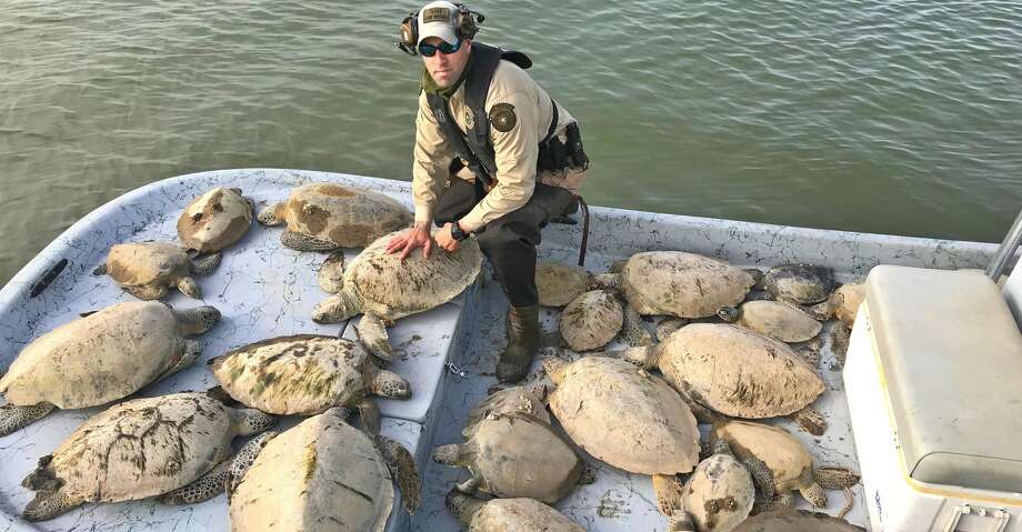 Through Friday, Texas game wardens had rescued an estimated 500 cold-stunned green sea turtles from Texas bays in wake of this past week's cold snap. More than 1,000 of the threatened turtles were saved through a cooperative effort that included Texas wardens and coastal fisheries staff, U.S. Fish and Wildlife Service, National Parks Service, NOAA and volunteers. Photo: Texas Parks And Wildlife Departm