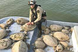 Through Friday, Texas game wardens had rescued an estimated 500 cold-stunned green sea turtles from Texas bays in wake of this past week's cold snap. More than 1,000 of the threatened turtles were saved through a cooperative effort that included Texas wardens and coastal fisheries staff, U.S. Fish and Wildlife Service, National Parks Service, NOAA and volunteers.