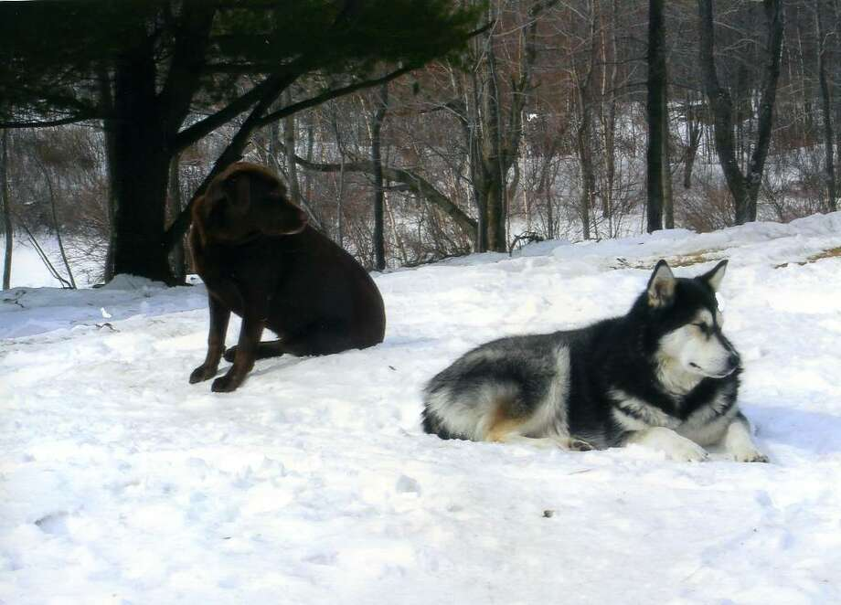 Mocha, a chocolate Labrador, and Rocky, an Alaskan Malamute, are pictured in this undated photo. The dogs were found shot to death in the woods in Berne Sunday. Albany County sheriff's deputies are investigating. (Photo provided by Amy Tubbs)