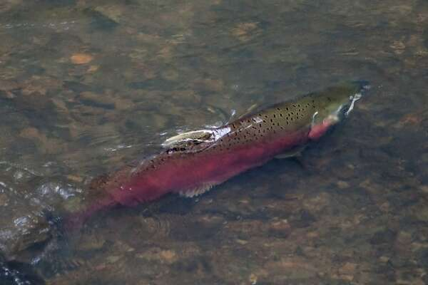 A male coho salmon swims on Monday, Dec. 14, in shallow water of San Geronimo Creek in the Lagunitas Creek watershed.