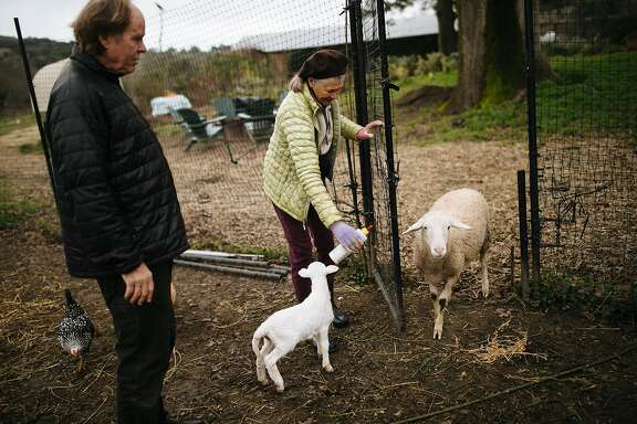 Mimi Buckley tempts Angel with a bottle of milk at Front Porch Farm in Healdsburg, Calif. Thursday, Jan. 11, 2018.