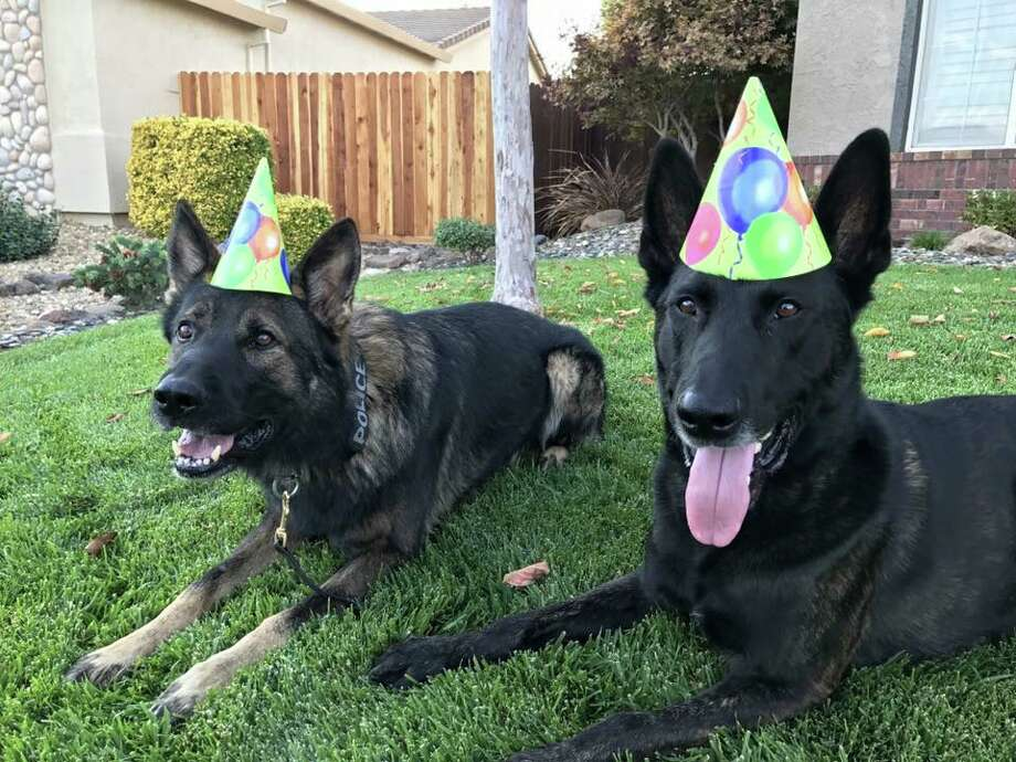 The Vacaville Police Department shares photos of police dogs Russell and Roscoe. Photo: Vacaville Police Department