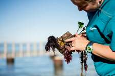 Lina Ceballos, a research biologist with the Smithsonian Environmental Research Center, examines a settlement plate used to monitor organisms in the San Francisco Bay on Thursday, Dec. 21, 2017, in Tiburon, Calif.