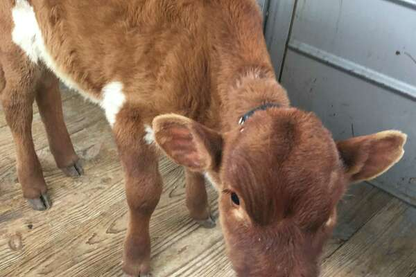 Tex, a baby Longhorn, was rescued from a pack of dogs that were chasing the small animal in a rural area on the far West Side. Animal Care Services said the 60-pound calf is underweight, but is otherwise fine.