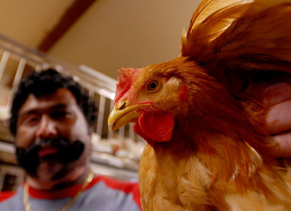 Terry Jagiah, owner of the new Broadway Live Poultry Market in Schenectady, holds one of the chickens for sale at the shop on Broadway. (Luanne M. Ferris / Times Union)