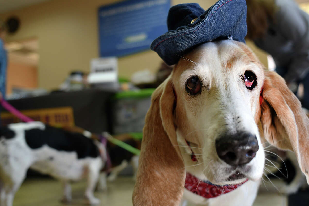 """""""Gulliver"""", 8, explores with his friends the lobby at Honest-1 Auto Shop in Cypress during a Basset Buddies Rescue of Texas pet adoption event on January 13, 2018. (photo by Jerry Baker/Freelance)"""