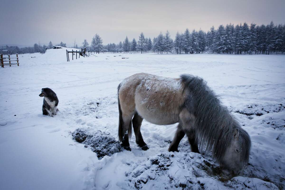 Oymyakon is considered, together with Verhoyansk, to be the world's coldest populated place. The yakutian horse lives in Oymyakon and is outside the whole winter.