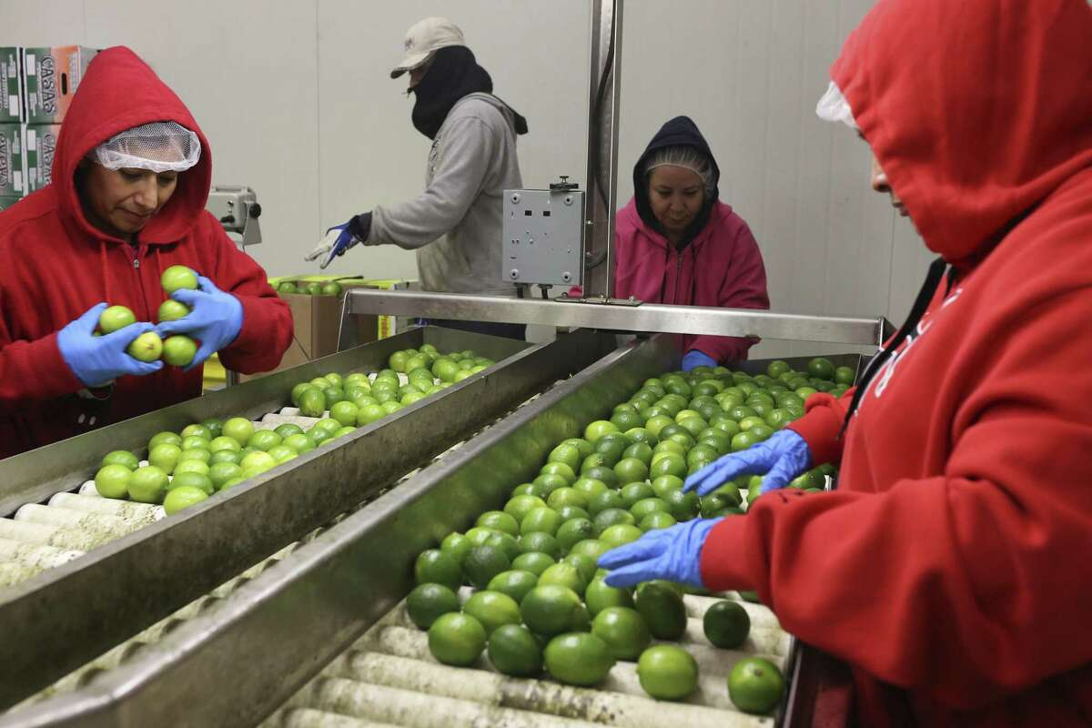 Workers sort limes from Mexico at the Keystone Cold Storage and Distribution in Pharr, Texas, Tuesday, Jan. 5, 2016. The port at Pharr is seeing an increase of produce from Mexico.