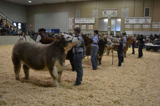 Competitors line up for the judge's review as part of one of the many classification contests Saturday during the 83rd Annual Hale County Stock Show.