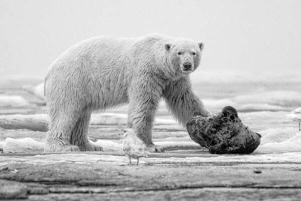 A polar bear on the frozen Beaufort Sea  takes a break from gnawing on a chunk of whale meat.