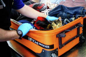 Slim the 6-month-old cat peeks out of a suitcase that was searched by TSA agents at Erie International Airport in Pennsylvania. A Florida couple was cited for animal cruelty for allegedly stuffing the cat in the checked bag with clothes and other belongings.