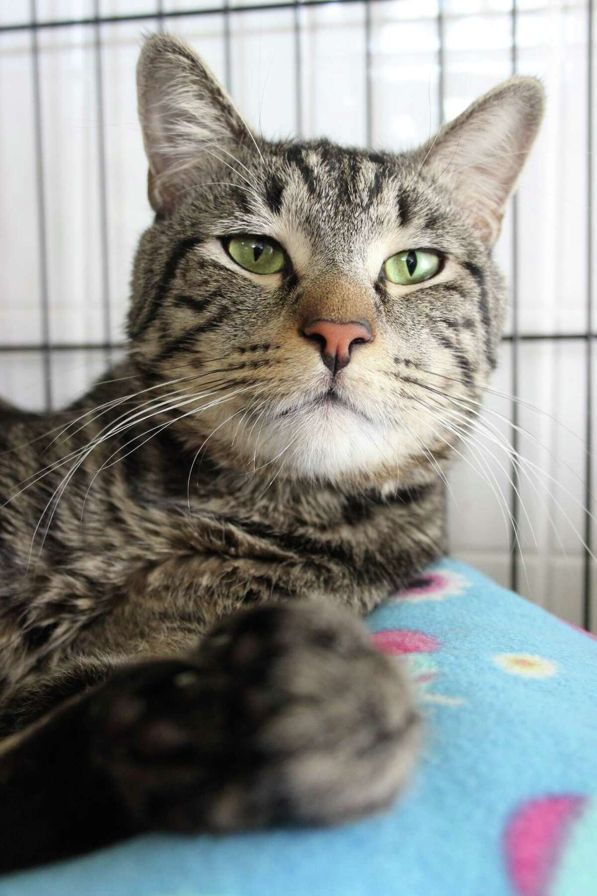 Skywalker, a gorgeous tabby, sweet and loving, is ready for his