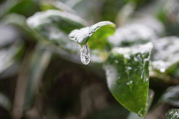 The storm that hit the greater Houston area on Tuesday, Jan. 16, left ice covering plants throughout the region.