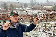 """Irv Silverman, owner of Silverman's Farm in Easton, looks at a peach branch Wednesday, Jan. 17, 2017, on the farm. Two years ago the entire peach crop was lost when temperatures fell to 10 degrees below zero on the weekend of Feb. 13-14, known in the Connecticut fruit farm business as the """"Valentine's Day Massacre."""""""