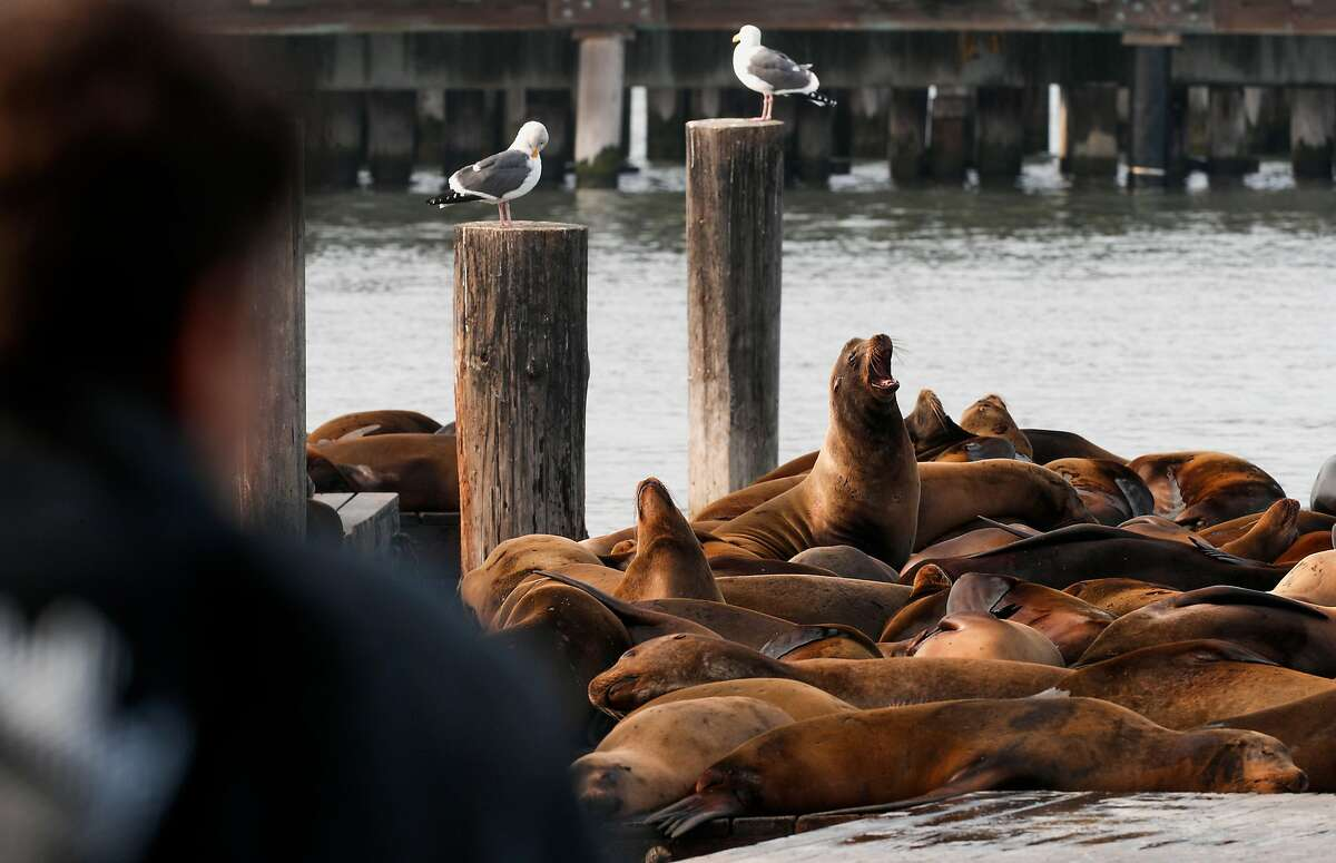 Sea lions at Pier 39 on Wednesday, Jan. 17, 2018 in San Francisco , Calif. The sea lion population has rebounded after a major die-off during the recent drought.