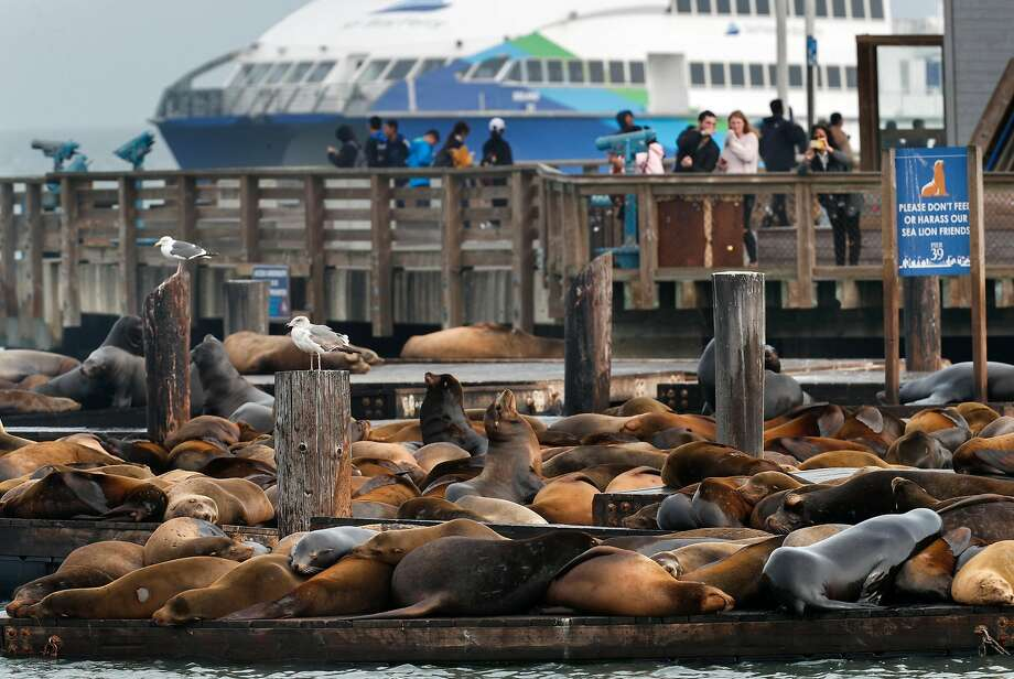 Sea lions, shown last January, first started congregating in large numbers at Pier 39 in early 1990. Photo: Michael Macor / The Chronicle 2018