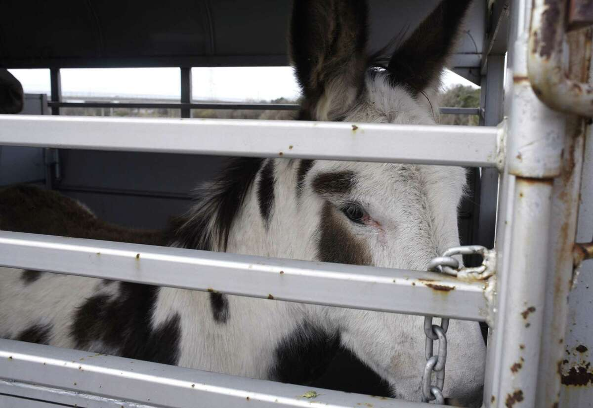 A donkey is removed from a property in the 12500 block of Old O'Connor Road on Wednesday.